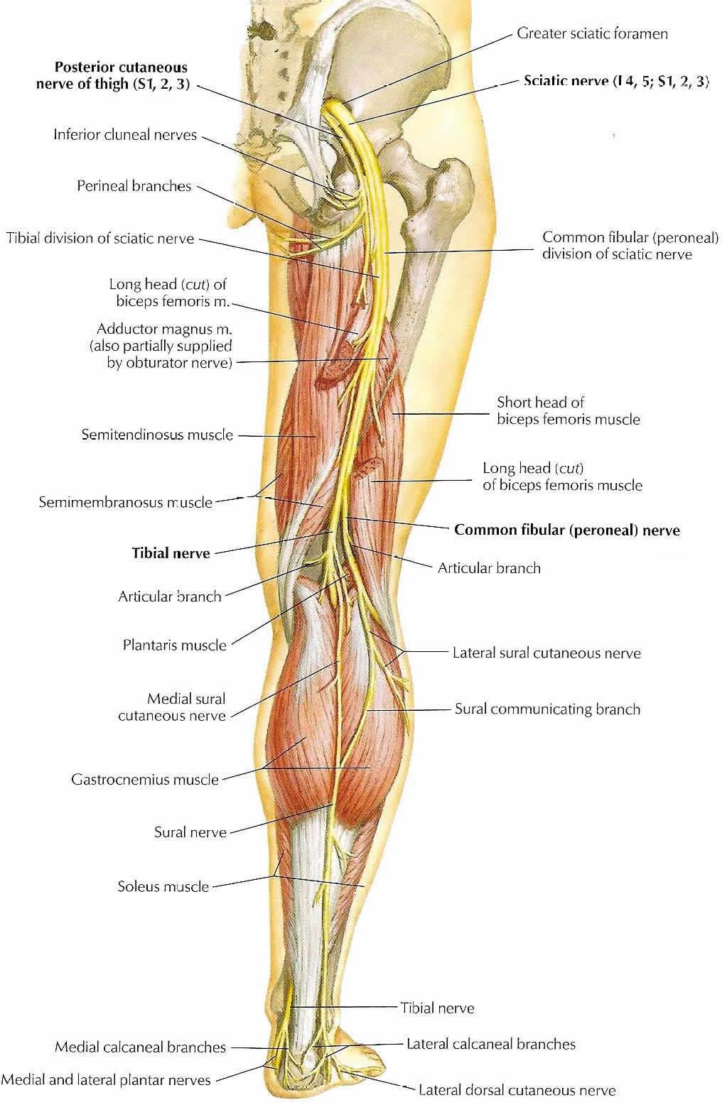 Ausgezeichnet Nerven Im Bein Galerie - Anatomie Und Physiologie ...